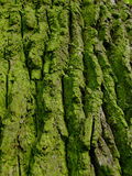 Old green bark. With moss Stock Photo