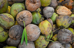 Old green and brown of coconuts with bud. On the heap Stock Photography