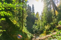 Old green forest. Sunlight breaks through the trees. The gorge in which flows a mountain stream. Sunny beautiful weather in the forest stock image