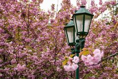 Old green lantern among cherry blossom. Beautiful spring background Stock Images
