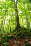 Old green mossy forest and tall trees Royalty Free Stock Photos