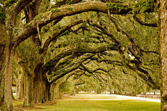 Old Green Oak Limbs Royalty Free Stock Photography