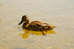 Mallard duck in studzieniczne lake. Old green tree, summer time, place for pray, wood, forest, nature, wild duck in natural enviroment, clear lake, sand bottom Stock Photos