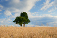 Old green trees in the middle of a field Royalty Free Stock Images