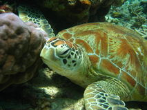 Old green turtle. Turtle photo taken beneath the sea in sipadan in sabah malysian borneo Royalty Free Stock Photos