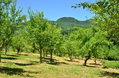 Old green uncultivated orchard. Old abandoned uncultivated orchard. Summer countryside landscape Royalty Free Stock Image