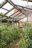 Old greenhouse for growing vegetables made from discarded materi Royalty Free Stock Photos