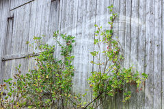 Old grey barn wall Stock Images