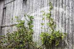 Old grey barn wall Stock Photo
