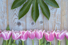Old grey blue wooden background with pink white tulips border in a row  and empty copy space with wooden spring summer butterflies Stock Photo