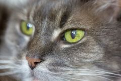 Old grey cat with green eyes in macro. Old grey and white cat with green eyes in macro royalty free stock photography