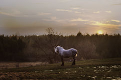 Old grey clydesdale horse. Beautiful old grey horse in a field at sunset stock photo
