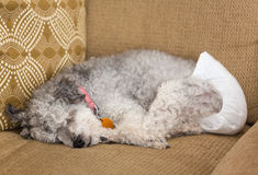 Old grey dog wearing a doggy diaper. Old yorkshire terrier poodle mix dog asleep on couch and wearing a doggy diaper for incontinence Royalty Free Stock Photography