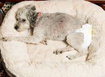 Old grey dog wearing a doggy diaper Royalty Free Stock Images