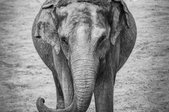 Old grey elephant portrait trunk thick skin stock image