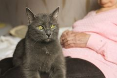 Old grey grumpy cat sits on grandmother`s laps, being serious. stock image