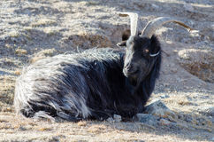 Old grey-haired Tibetan goat is sitting on a mountain slope Stock Images