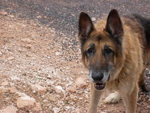 Old grey muzzle German Shepherd dog Royalty Free Stock Images