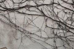 Old grey stucco wall covered with dry ivy Stock Image