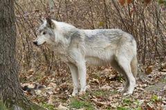 Old Grey Wolf Regal Profile Stock Photos