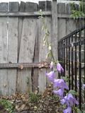 Old grey wood background with wildflowers 1 of 4. Old grey wood fence creates a very rustic background for some purple Colorado wildflowers. These delicate royalty free stock photo