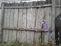 Old grey wood background with wildflowers 3 of 4. Old grey wood fence creates a very rustic background for some purple Colorado wildflowers. These delicate royalty free stock photos