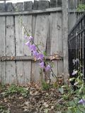 Old grey wood background with wildflowers 2 of 4. Old grey wood fence creates a very rustic background for some purple Colorado wildflowers. These delicate royalty free stock images