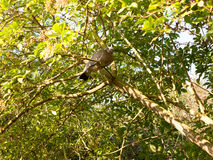 Old grey wood pigeon Columba palumbus resting in a tree above Stock Photography