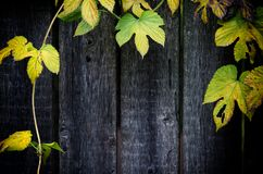 Old grey wooden background, frame of a weaving plant, wild hop royalty free stock photo