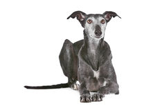 Old greyhound royalty free stock photos
