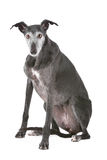 Old greyhound Stock Image