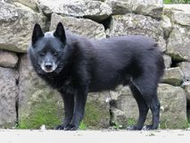 Old greying Schipperke dog standing by drystone wall. Royalty Free Stock Images