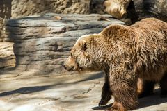 Old Grizzly Bear Stock Photos