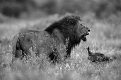 Old & Grizzly. The pride had made a kill in the area and the vultures were in the area. The black and white added to this grizzly look of the lion Royalty Free Stock Photos