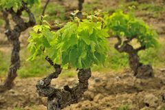 Old groth vines in France. Old groth vines in the Languedoc region, France Stock Photo