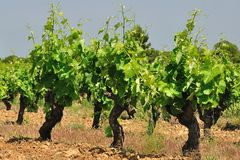 Old groth vines in France. Old groth vines in Languedoc, France, in spring Royalty Free Stock Photo
