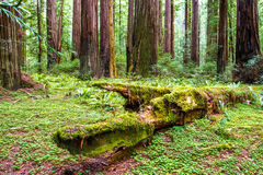 Old-Grove Forest Royalty Free Stock Image