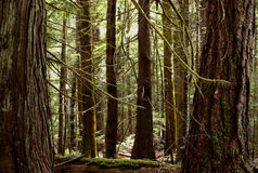 Old Growth. Forest in Read Island Provincial Park Stock Image