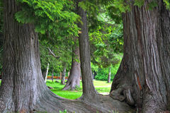 Old growth cedar Stock Images
