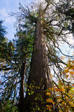 Old growth cedar in autumn Royalty Free Stock Images