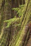 Old growth cedars. A small hemlock tree grows in between two lofty old growth cedar trees Royalty Free Stock Photos
