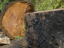 Old Growth Fir Tree Cut Down. Burnt trunk old growth Fir tree cut down in Southern British Columbia Royalty Free Stock Photo