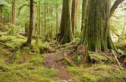 Free Old Growth Forest Royalty Free Stock Image - 13755686