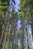 Old Growth Forest. An old growth spruce forest in Cavendish, Prince Edward Island.  Close to Green Gables House it is know as the 'Haunted Forest' due to the ' Royalty Free Stock Photo