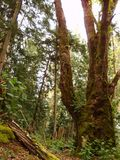 Old growth forest. Royalty Free Stock Images