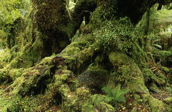 Old Growth Forest. On Minehana Trail in Westland National Park, South Island, New Zealand Stock Image