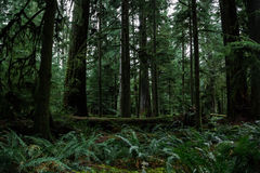 Old Growth Forest Royalty Free Stock Images
