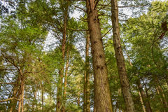 Old-growth Forest Stock Image