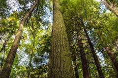 Old Growth Forest Royalty Free Stock Photos