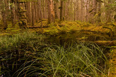 Old Growth forest Royalty Free Stock Photo